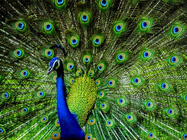Pavão e suas cores vibrantes que formam uma paleta de cores que trabalham num matiz de tons muito aproximados.