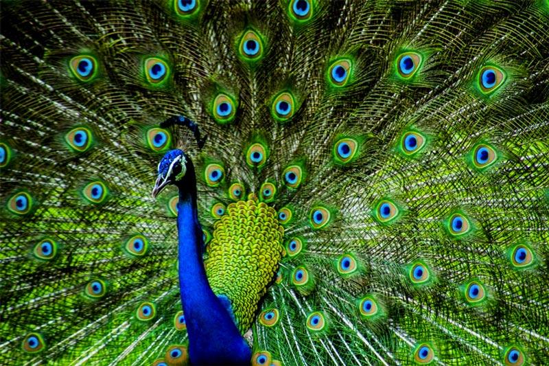 Pavão e suas cores vibrantes